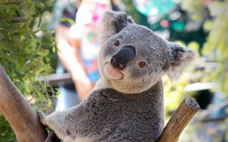 Australian koala wallpaper
