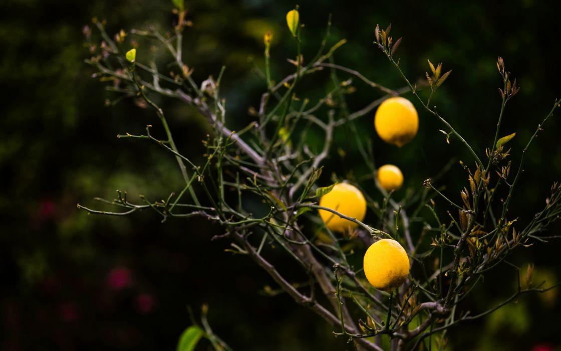 Lemon tree wallpaper