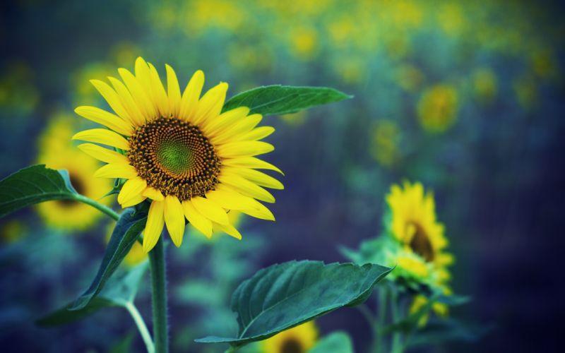Sunflower hdr wallpaper