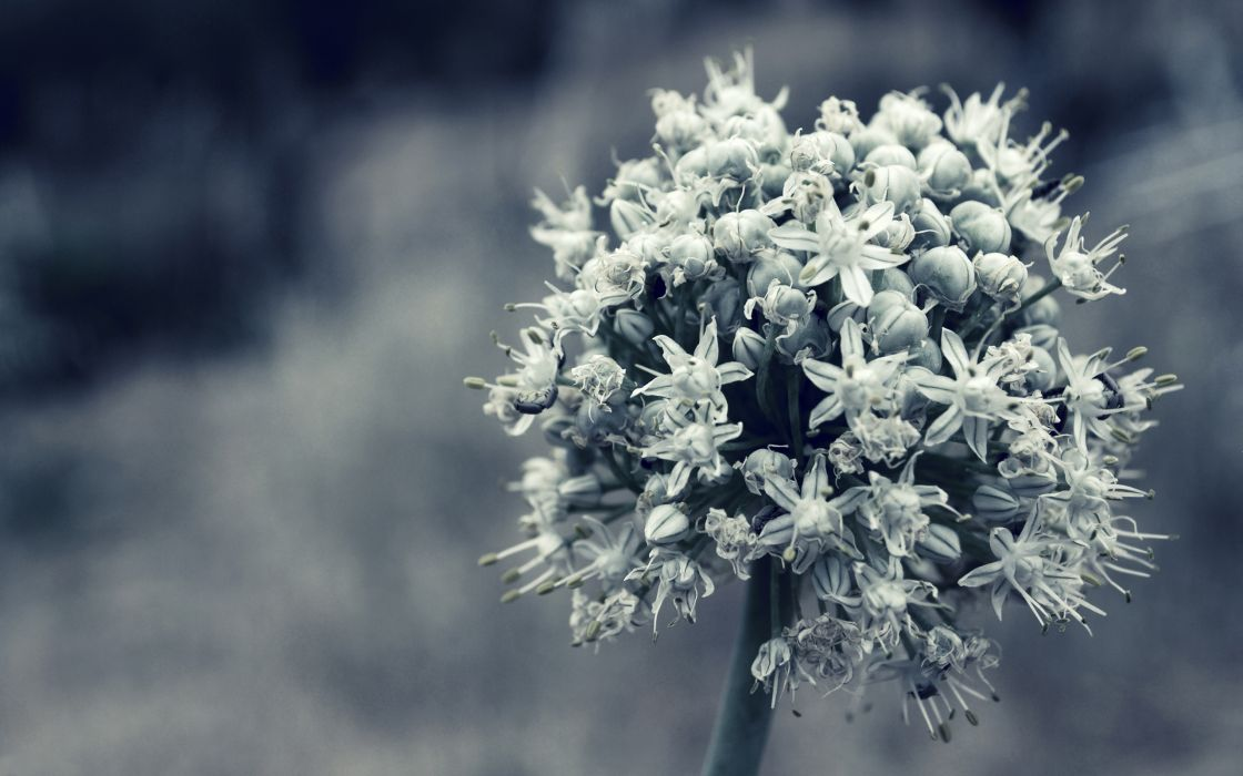 Black and white onion flowers wallpaper