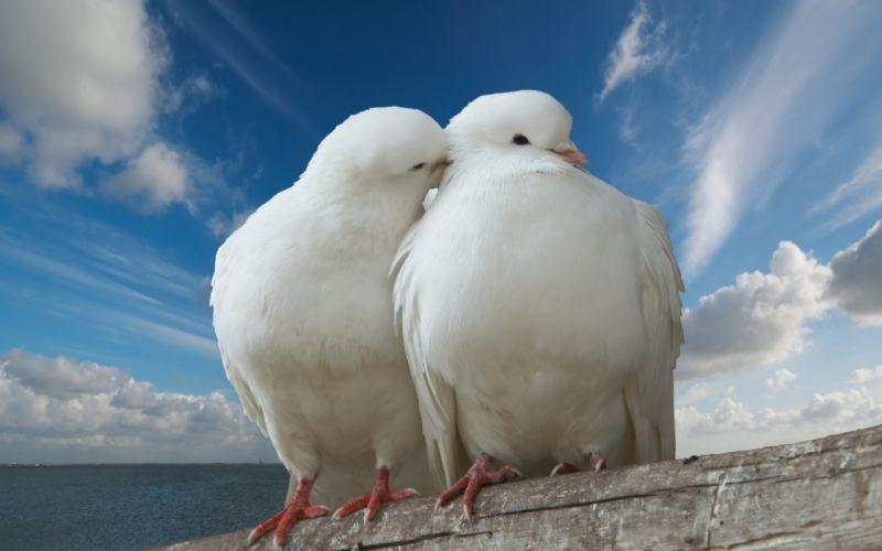Pigeons In Love wallpaper