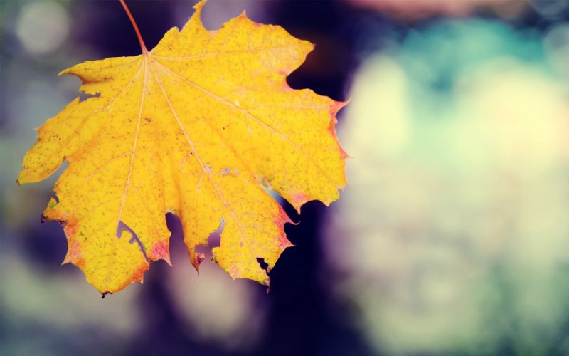 A yellow leaf wallpaper