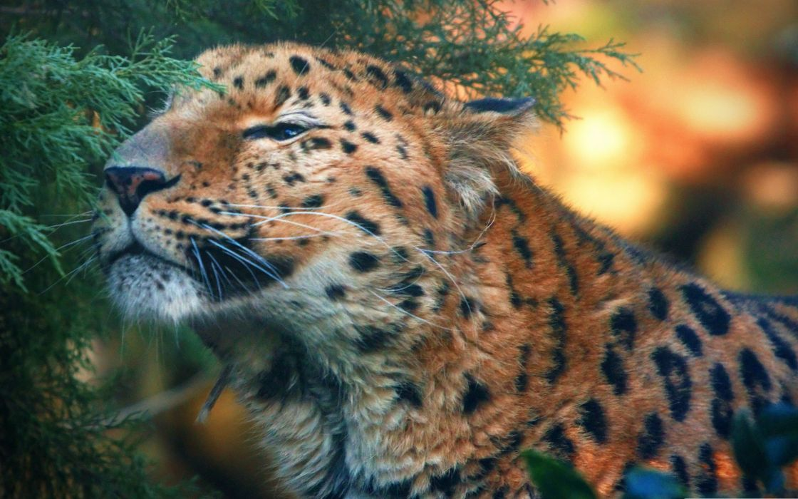 Cute amur leopard wallpaper