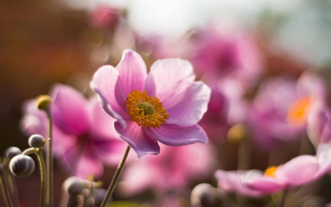 Pink summer flowers wallpaper