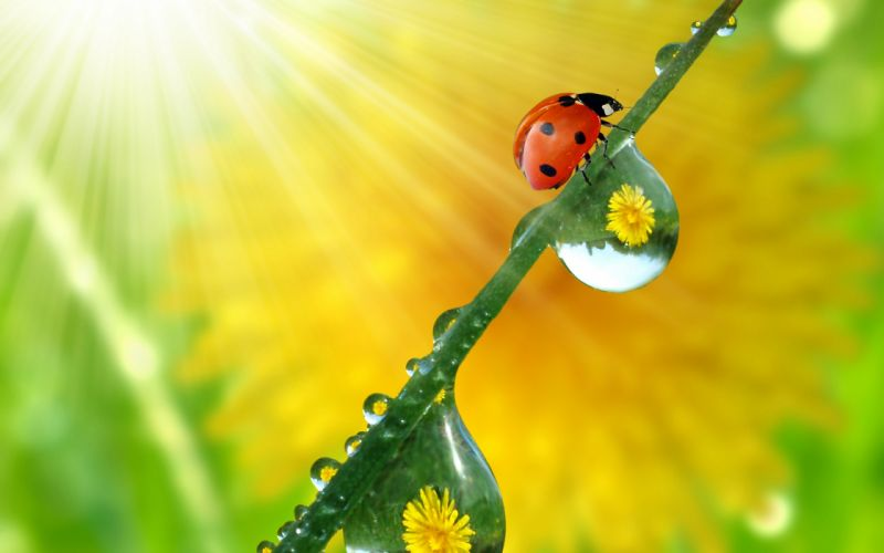 Beautiful Ladybug wallpaper