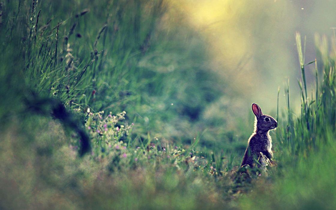 Rabbit stands on grass wallpaper