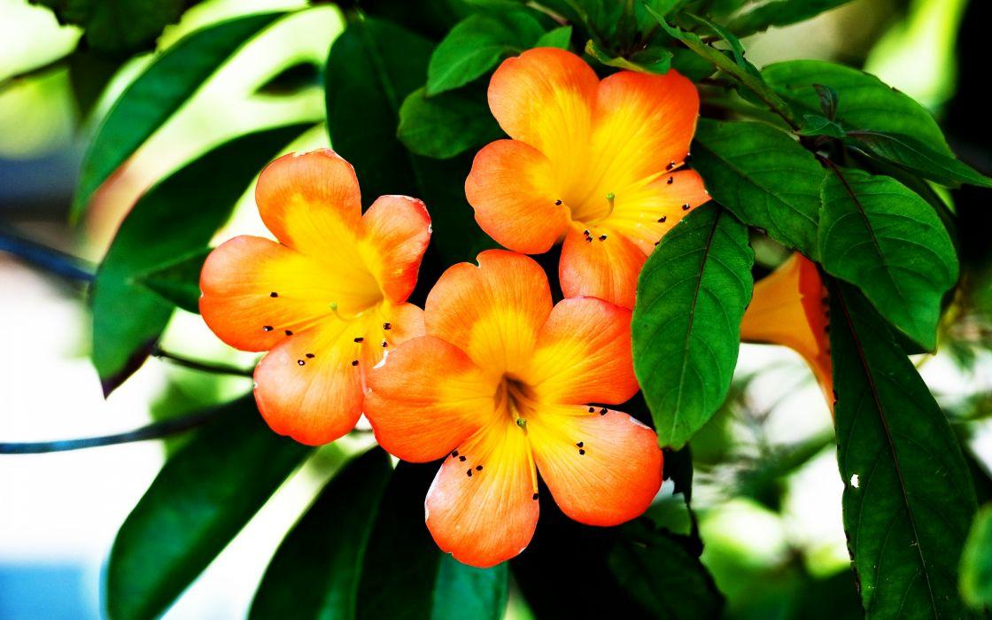 Spring Orange Flower wallpaper