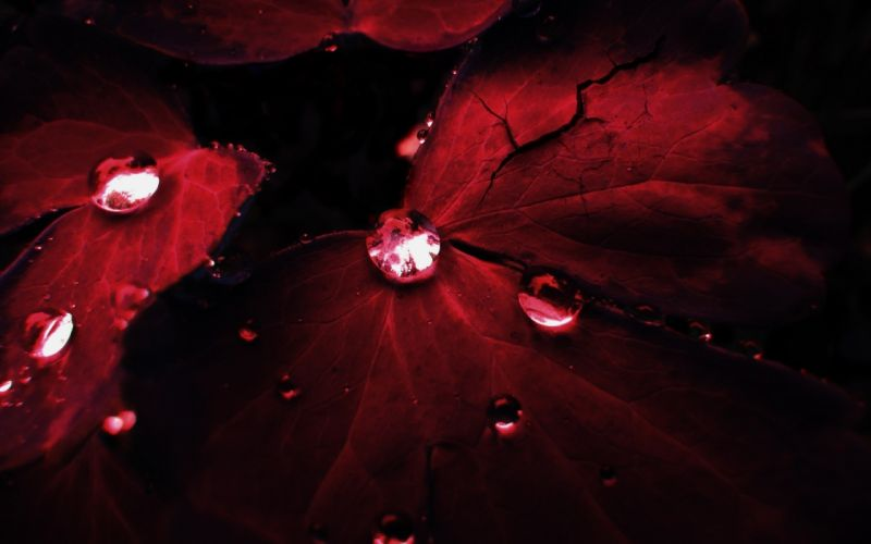 Water Drops On Red Leaf wallpaper