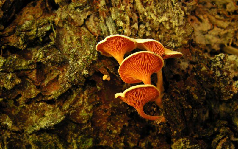 Orange Mushrooms wallpaper