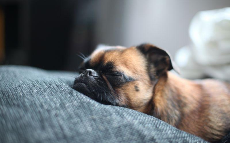 Dog takes a nap wallpaper