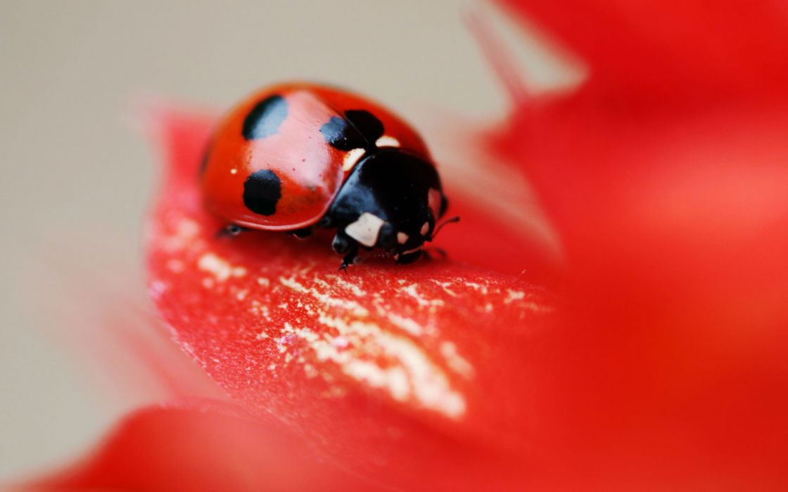 Lady bug on a red flower wallpaper