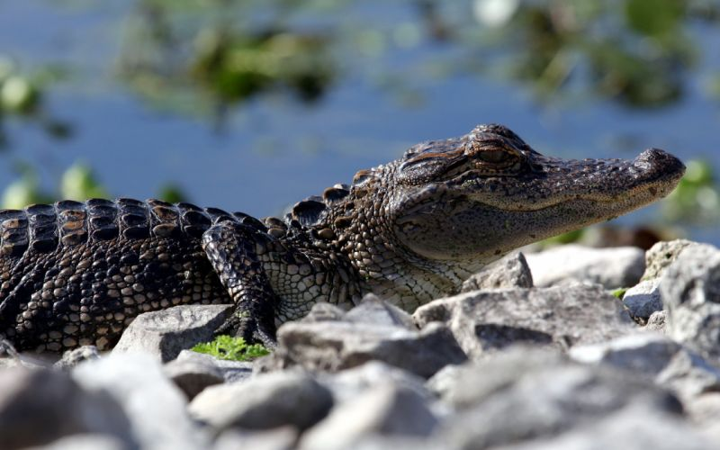 Baby crocodile wallpaper
