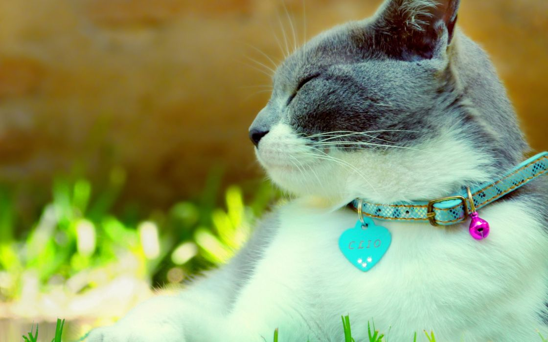 Cat with collar wallpaper