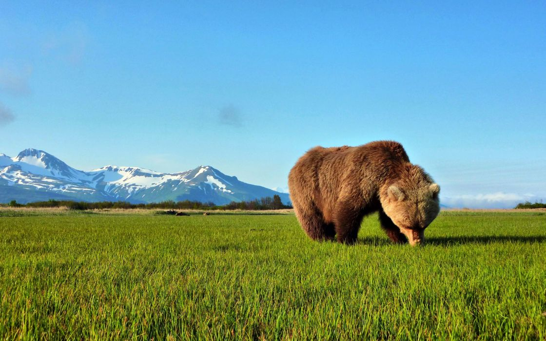 Bear sniffing the grass wallpaper