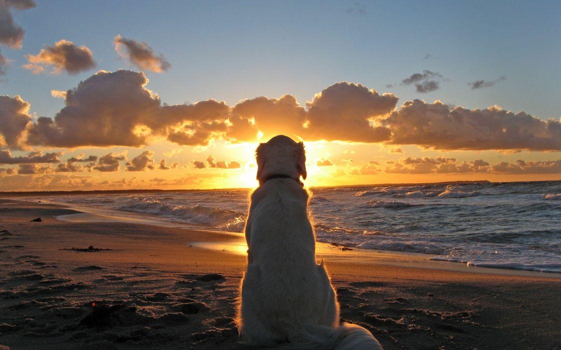 Golden retriever at sunset wallpaper