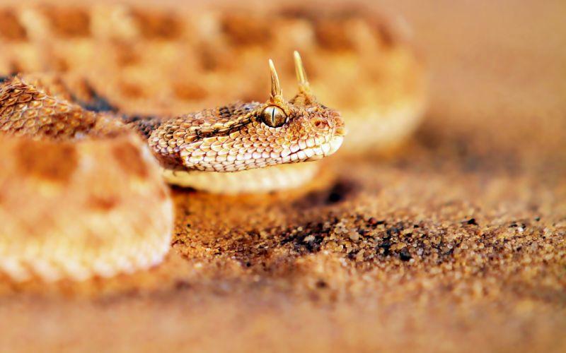 Sandy horned snake wallpaper