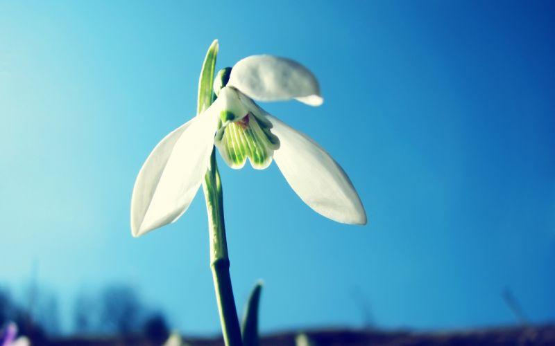 Snowdrop flower wallpaper