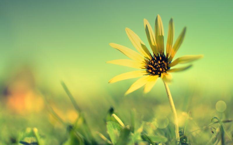 Yellow sun flower wallpaper