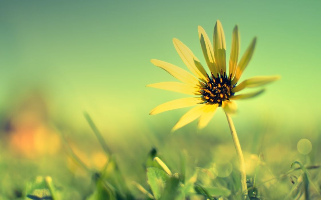 Yellow sun flower wallpaper