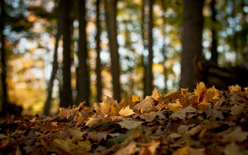 Fallen leaves in the forest wallpaper