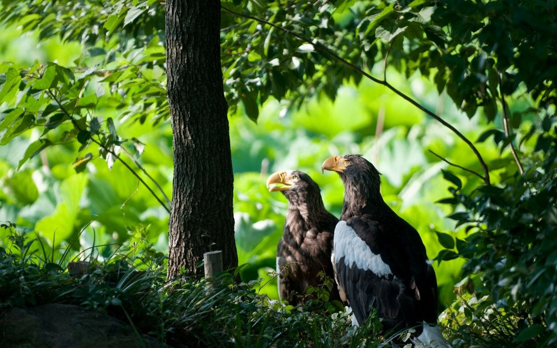 Two eagles in the nature wallpaper