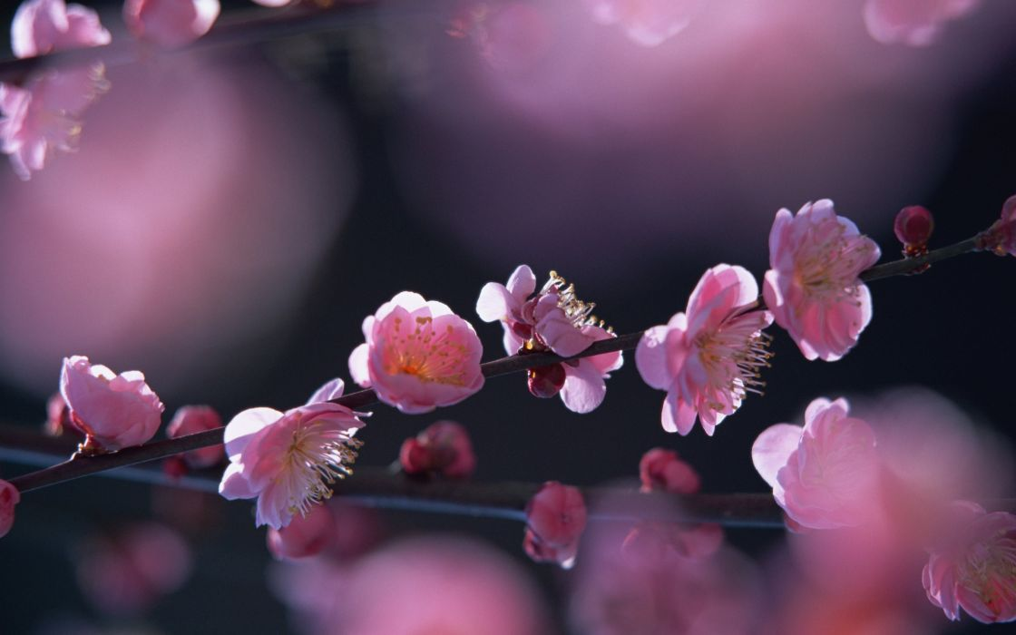 Pink flowers in springtime wallpaper