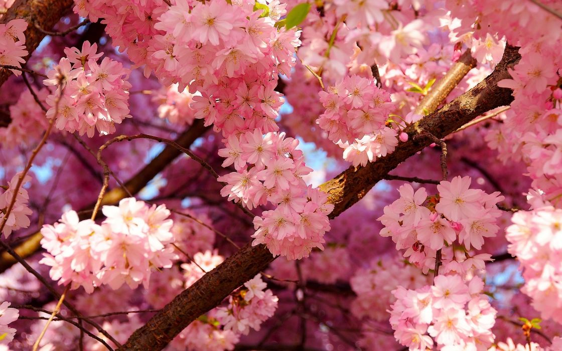Blooming pink flowers wallpaper