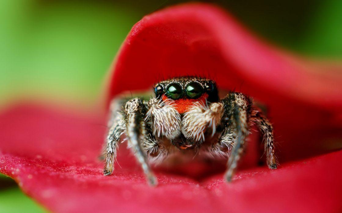 Macro spider wallpaper