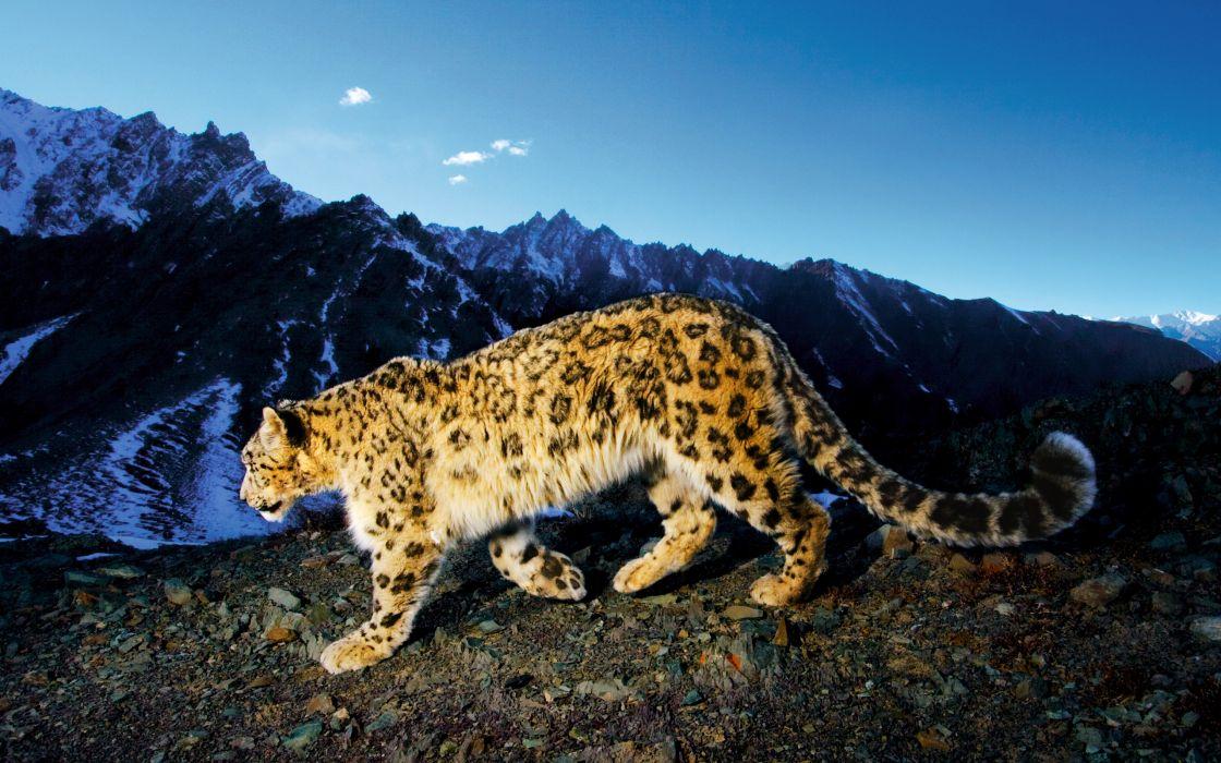 Snow leopard prowl wallpaper