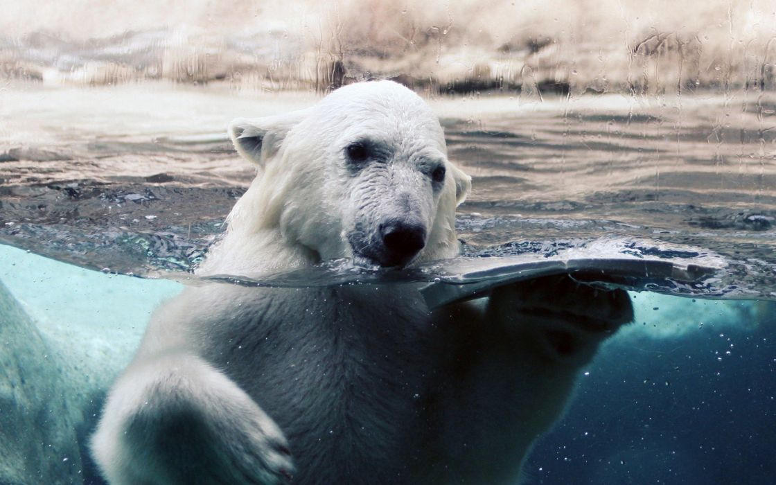 Polar bear in water wallpaper