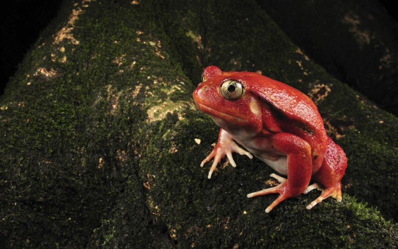Single red frog wallpaper