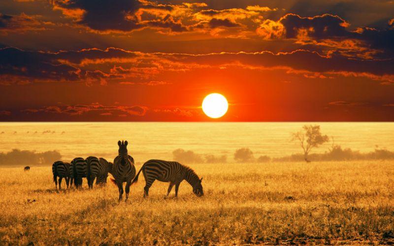 Zebras in the field wallpaper