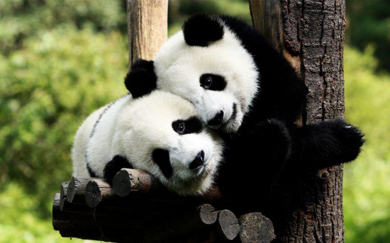 Panda bears in love wallpaper
