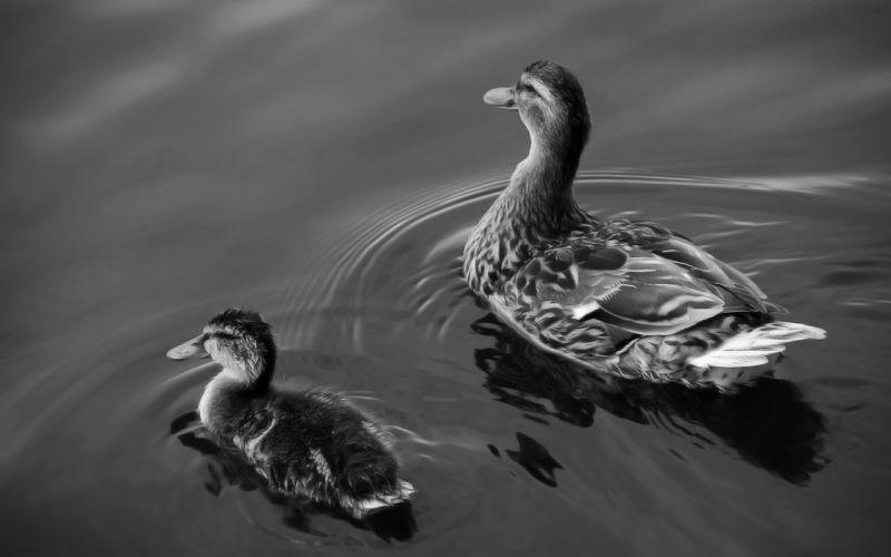Two ducks on lake wallpaper