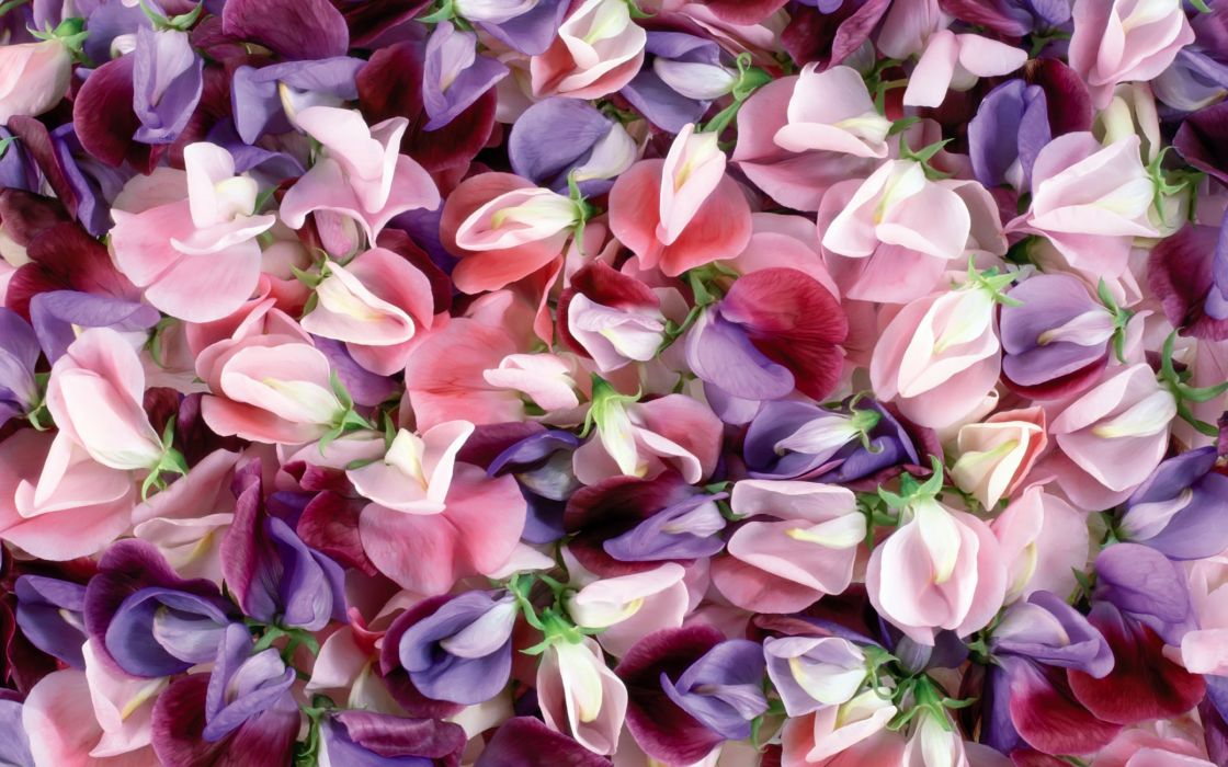 Purple and pink flowers wallpaper