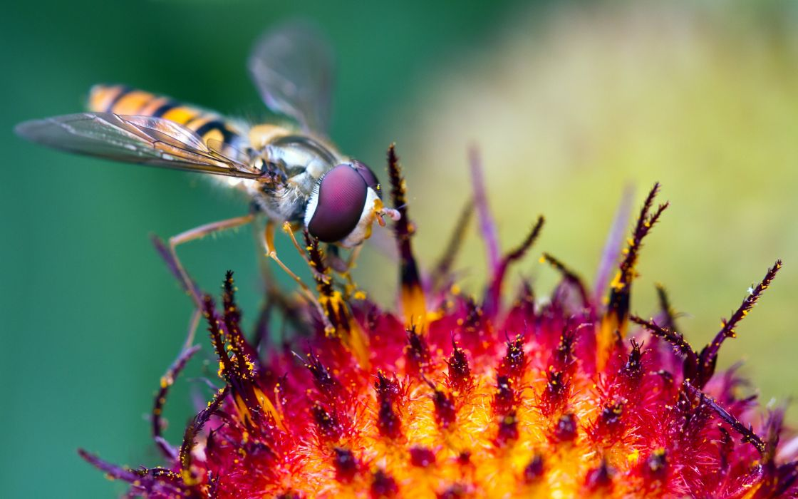 Hover Fly At Work wallpaper
