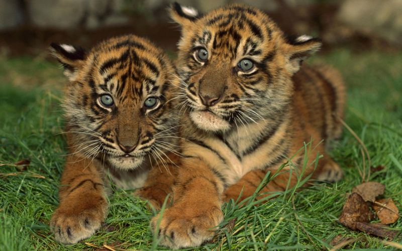 Two young tigers wallpaper