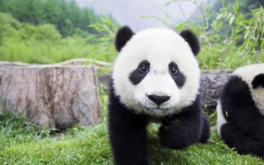 Beautiful baby panda wallpaper