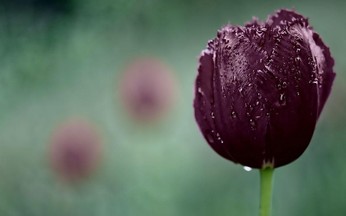 Dark purple tulip wallpaper