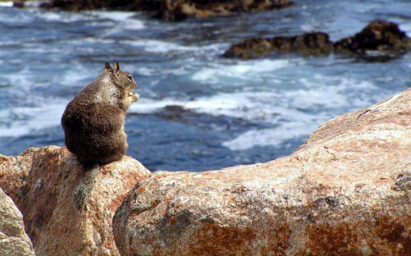 Squirrel on a rock wallpaper