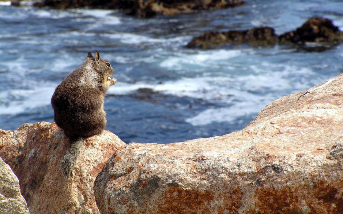 Squirrel on a rock wallpaper