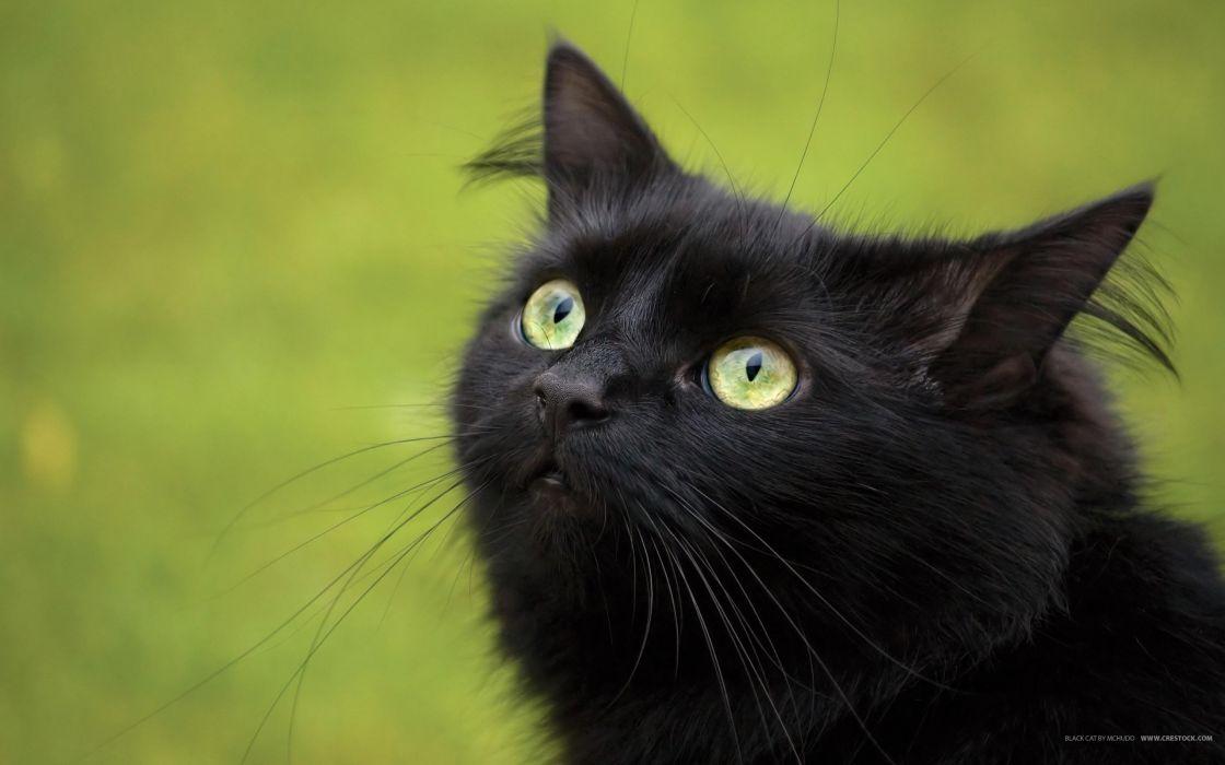 Black cat looks up wallpaper