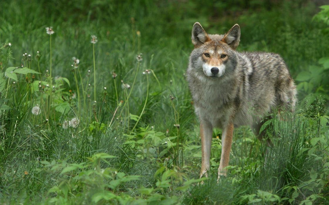 Lonly wolf wallpaper