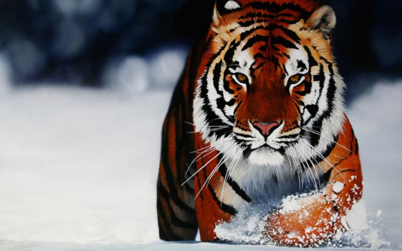 Wild tiger in the snow wallpaper