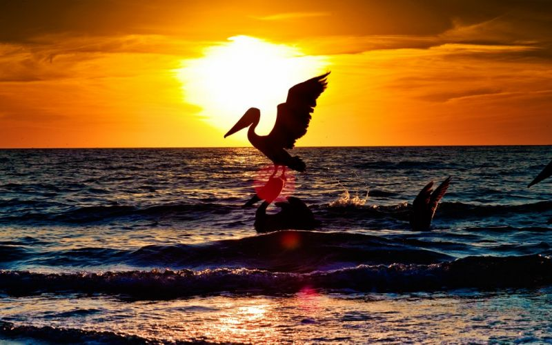 Sunset with two pelicans wallpaper