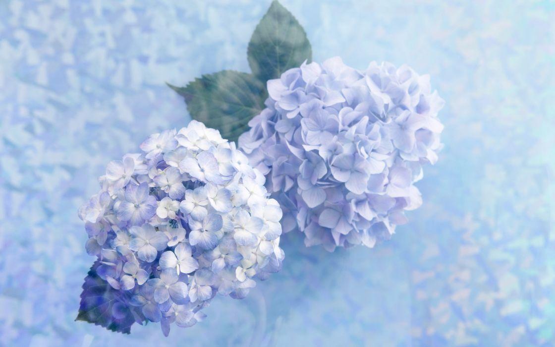 Blue lilac wallpaper