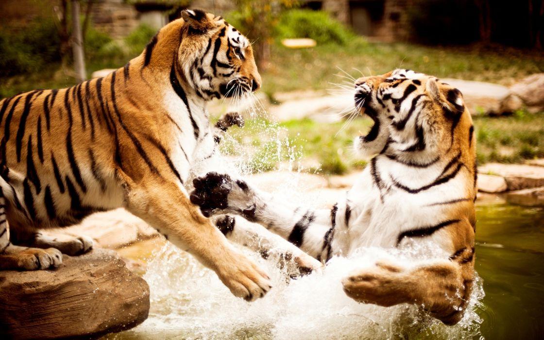 Tigers Fight wallpaper