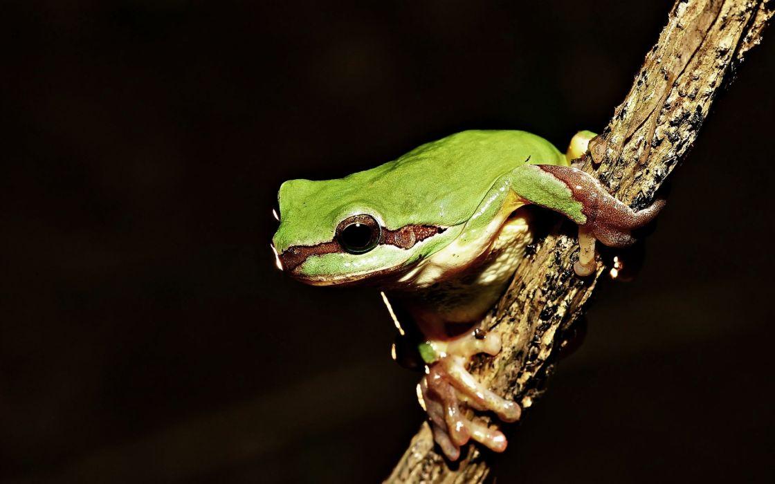 Frog on tree wallpaper
