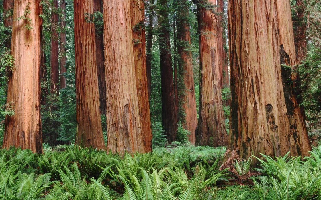 Redwoodss wallpaper