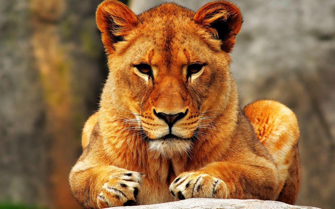Lion female wallpaper